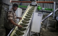 An Olive Oil Plant Built by TİKA Has Opened in the Gaza Strip