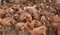 """دعم وتطوير قطاع الثروة الحيوانية في النيجر من قبل """"تيكا"""" التركية - 1"""