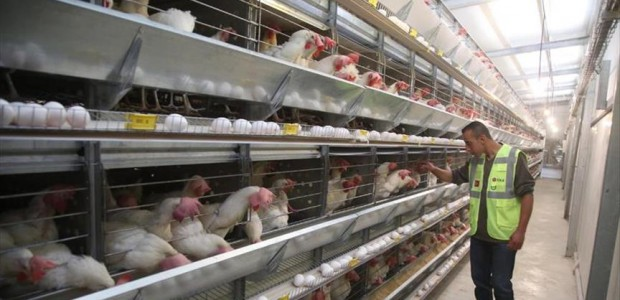 TİKA Built an Egg Poultry Facility in Palestine - 1