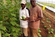 The Training Greenhouse Built by TİKA Yielded Its First Crops in Guinea