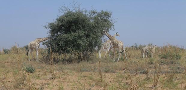 TİKA'dan Nijer'de Doğal Yaşama Destek - 1