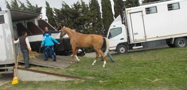 Ahalteke Atlarının Dünyaya Tanıtılmasına Destek   - 4