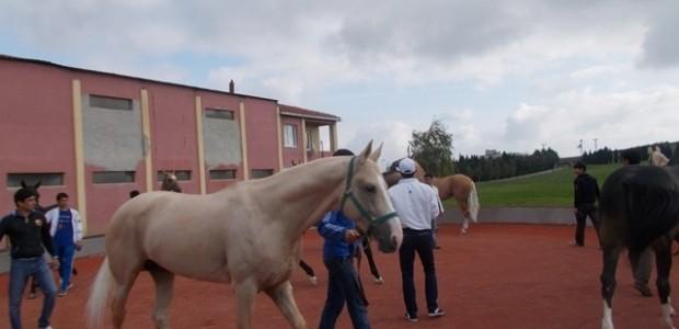 Ahalteke Atlarının Dünyaya Tanıtılmasına Destek   - 1